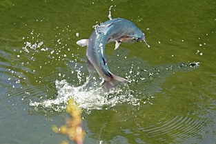 Blue Trout Jumping